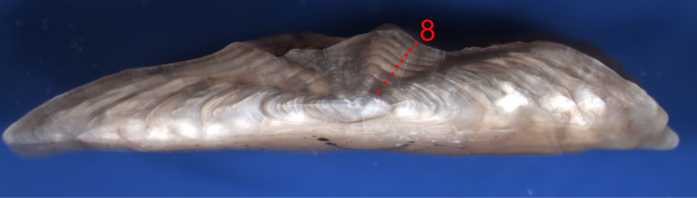 Break and bake otolith