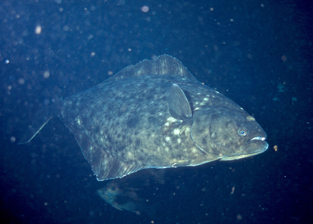 fig1_livehalibut_photocredit_roberta_brooks.jpg